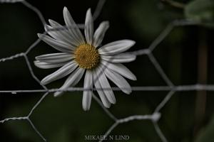 generic-fence-daisy