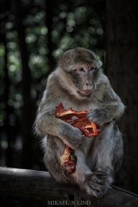 Eating monkey